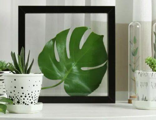 Μονστέρα, ξεχωριστό φυτό εσωτερικού χώρου
