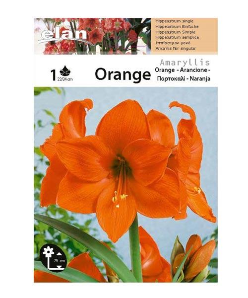 Αμαρυλλίδα πορτοκαλί