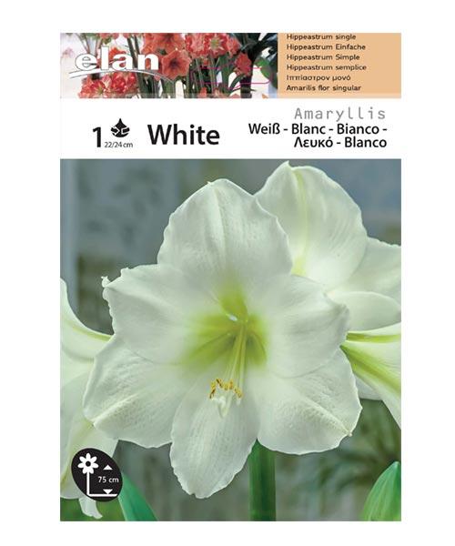 Αμαρυλλίδα λευκή
