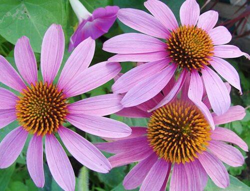 Εχινάτσεα, βολβώδες φυτό ανοιξιάτικης φύτευσης.