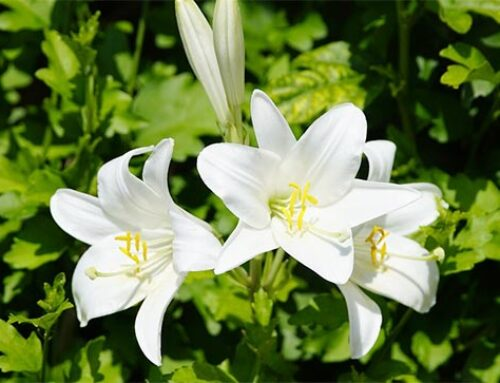 Κρίνος ή λίλιουμ: εντυπωσιακά άνθη για χρωματιστά παρτέρια