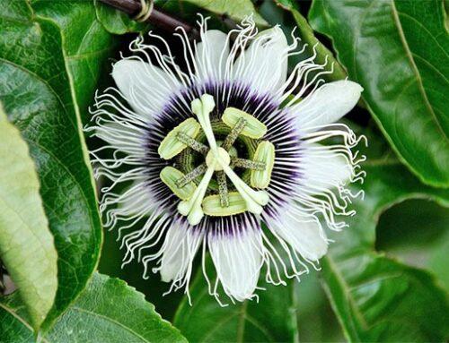 Πασιφλόρα ή ρολογιά: αναρριχώμενο με λουλούδια σαν ρολόι